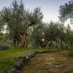 Ancient road through olive garden, Frascati, Italy